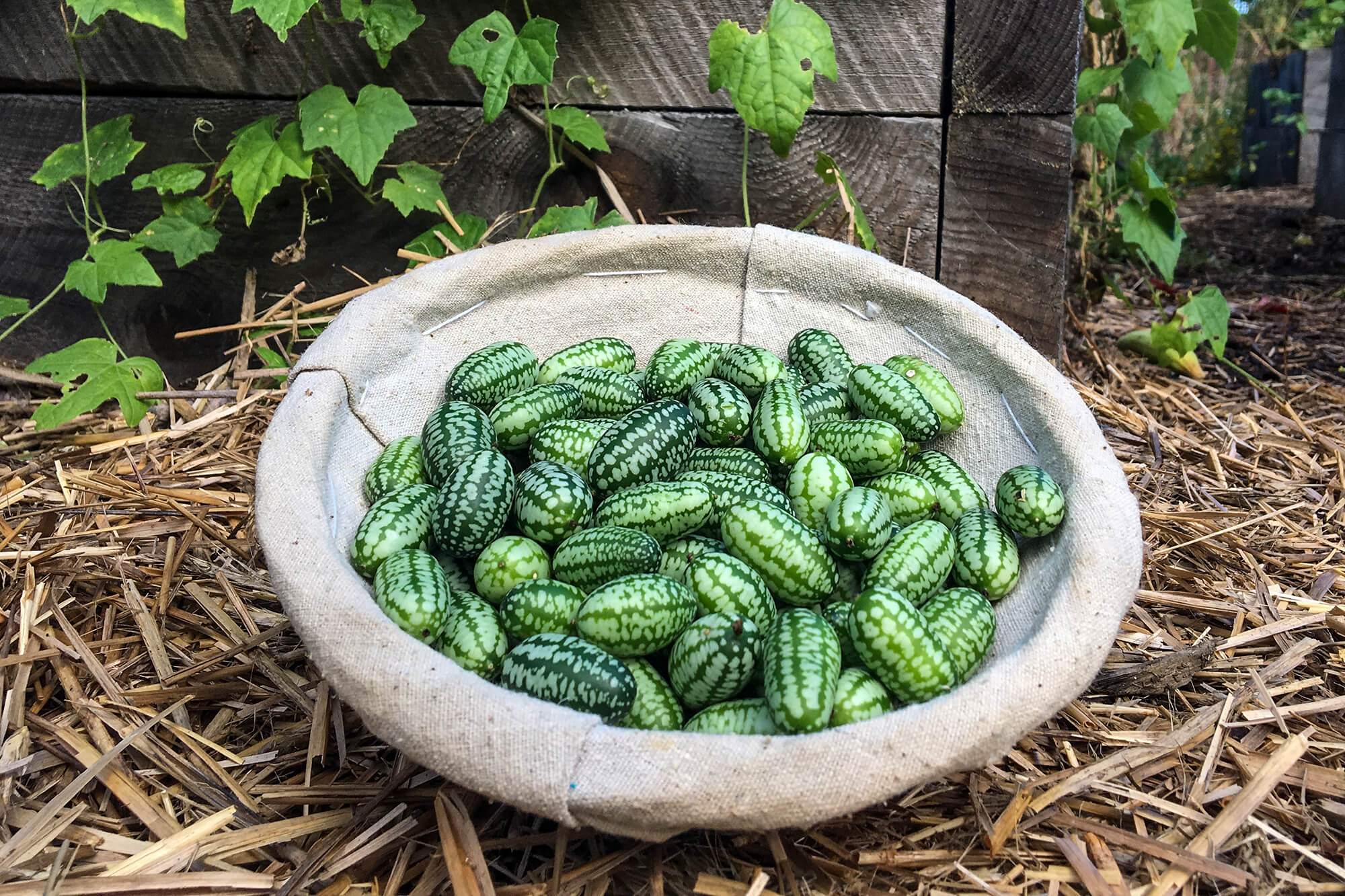 bowl of cucamelons