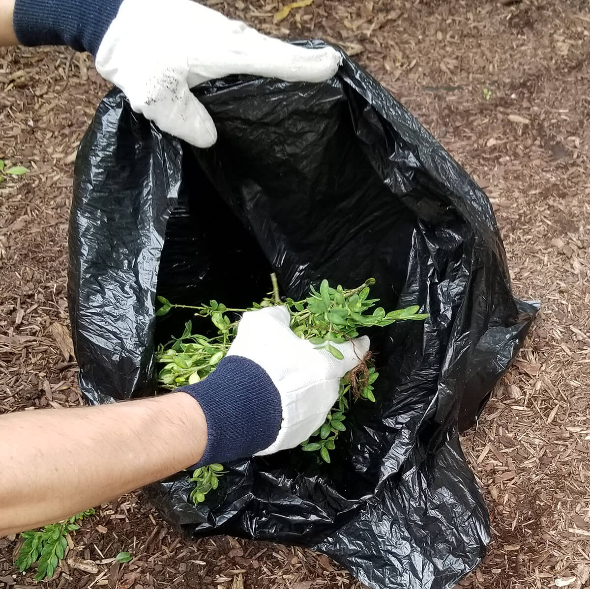 boxwood clippings being placed in a black plastic bag
