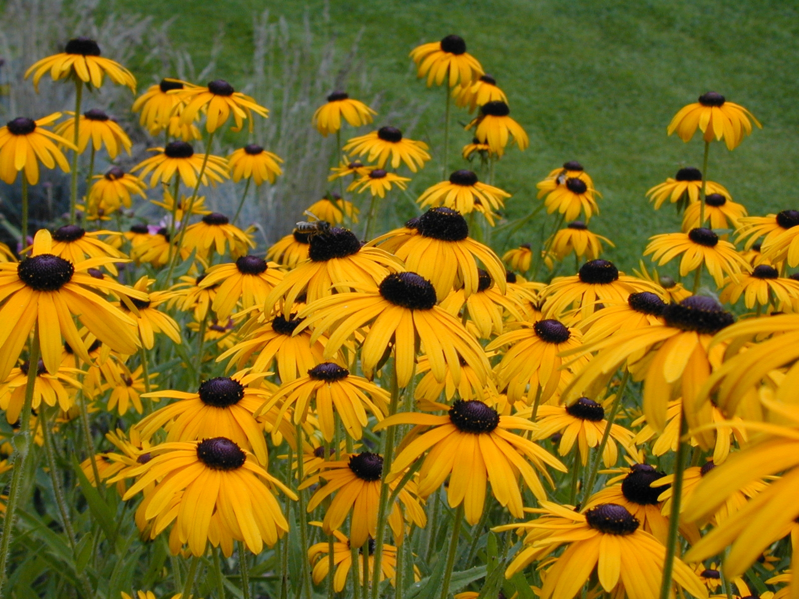 After 15 years of trying to grow a variety of plants on a Black eyed susans