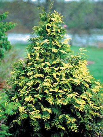 Thuja Family Of Evergreens Landscape Ontario Com Green