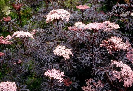 Dwarf Black Elderberry Landscape Ontario Com Green For Life