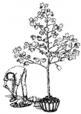 image of person planting a tree, Balled and burlap.