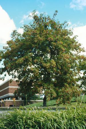 Acer Tataricum Amur Maple Landscape Ontario Com Green