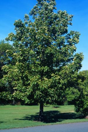 Carya Cordiformis Bitternut Hickory Swamp Hickory Landscape Ontario Com Green For Life