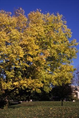 Celtis Occidentalis Hackberry Landscape Ontario Com Green For Life