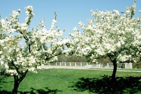 Malus Flowering Crabapple Landscape Ontario