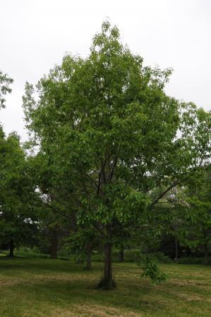 Quercus Muehlenbergii Chinquapin Oak Landscape Ontario