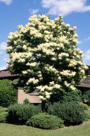 Syringa reticulata japanese tree lilac landscape ontario japanese tree lilac cultivars publicscrutiny Image collections