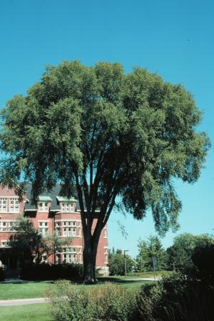 Ulmus Americana American Elm Landscape Ontario Com Green