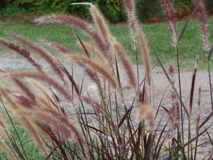 Types Of Ornamental Grasses For Landscaping Ornamental grasses landscape ontario green for life workwithnaturefo