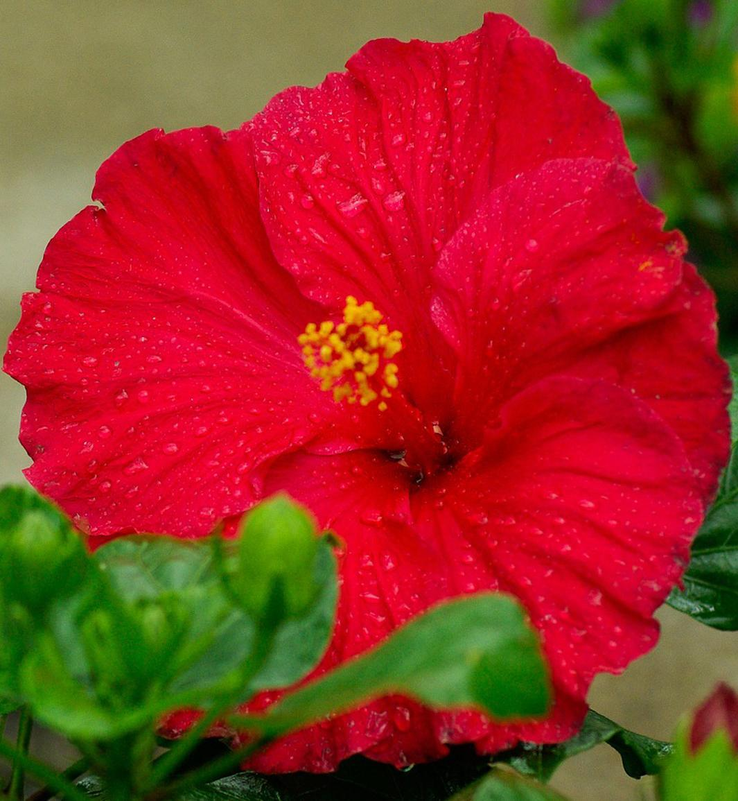 Hibiscus Come In Many Shapes And Sizes Landscape Ontario