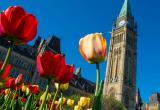 Tulips will take over Ottawa for 11 days in May.