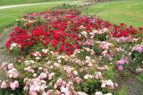 Over 600 roses were donated by JC Bakker and Sons of St. Catharines to the Landscape Ontario trial gardens.