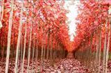 Autumn Blaze and sugar maples were used in the verticillium trials.