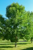 Blue ash is a long-lived tree, with some resistance to EAB.