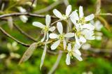 The serviceberry is an early spring bloomer.