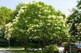 Grown naturally, the tree lilac develops into a very large shrub.