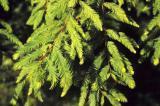 Bald cypress has soft, feathery needles.