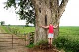 Peter Weber can't completely hug this giant eastern cottonwood.