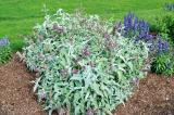 A new salvia named Lancelot drew a lot of attention at the 2020 trial garden open house.