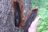 Sapwood staining is symptomatic of oak wilt.