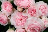 The new website, kordes.us, will showcase an extensive collection of roses.