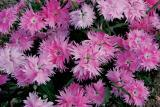 Dianthus Supra Pink is one of of the 2017 All-America Selections winners.