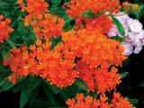 Butterfly weed is the 2017 Perennial Plant of the Year.