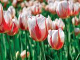 Canada 150 tulip.